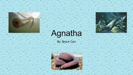 Agnatha By: Bryce Carr. Agnatha Phylum Tree Characteristics of the kingdom Eukaryotic Multicellular They are heterotrophic Generally digests food in.