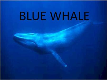 BLUE WHALE. Blue whale is the biggest animal in the world. It is more than 25 meters and more than 200 tons. Blue whale is same weight as 40 elephants.