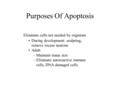 Purposes Of Apoptosis Eliminate cells not needed by organism During development: sculpting, remove excess neurons Adult –Maintain tissue size –Eliminate.