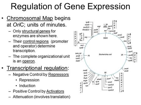 Regulation of Gene Expression Chromosomal Map begins at OriC; units of minutes. –Only structural genes for enzymes are shown here. –Their control regions.