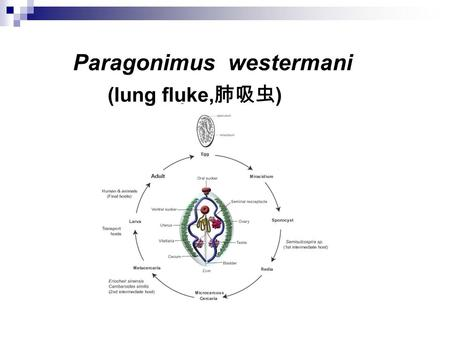 Paragonimus westermani (lung fluke, 肺吸虫 ). Introduction The reproductive organs of paragonimus stand side by side Adult worms usually live in the lungs.