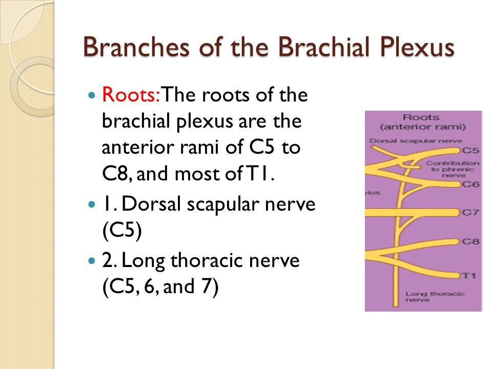 Trunks In the inferior part of the neck, the roots of the brachial plexus unite to form three trunks 1.