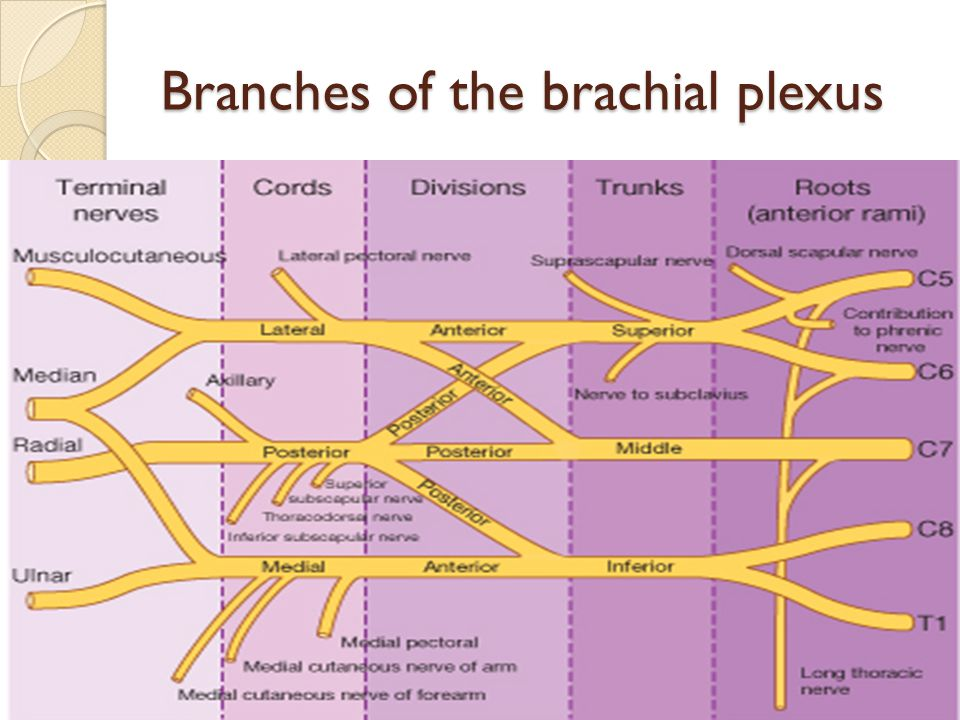 Branches of the medial cord 1.Medial pectoral nerve(C8; T1) 2.Medial cutaneous nerve of arm (C8; T1) 3.Medial cutaneous nerve of forearm(C8; T1) 4.Ulnar nerve(C8; T1) 5.Medial root of median nerve(C5, 6, 7, 8; T1)