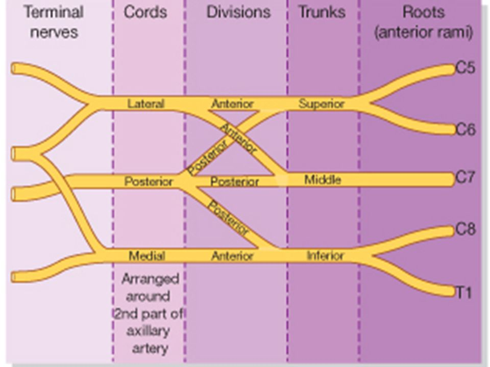 Brachial Plexus Injuries Injuries to the brachial plexus affect movements and cutaneous sensations in the upper limb.