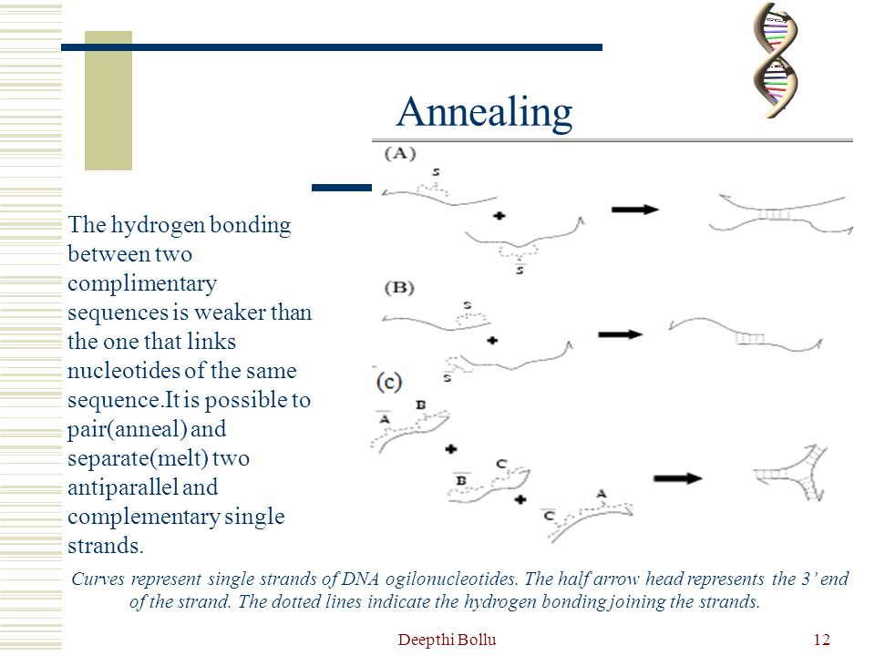 Deepthi Bollu13 Polymerase Chain Reaction PCR: One way to amplify DNA.