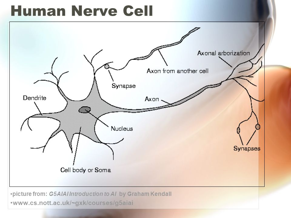 At the synapse – the nerve cell releases a chemical compounds called neurotransmitters, which excite or inhibit a chemical / electrical discharge in the neighboring nerve cells.