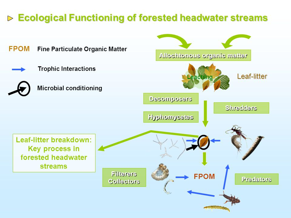 Test whether hyphomycete diversity has an effect on: 1)The production of Fine Particulate Organic Matter (FPOM) from leaf-litter 2)The palatability of leaf detritus for shredders Aims of the study Aims of the study How deeply a functional process is linked to biodiversity?