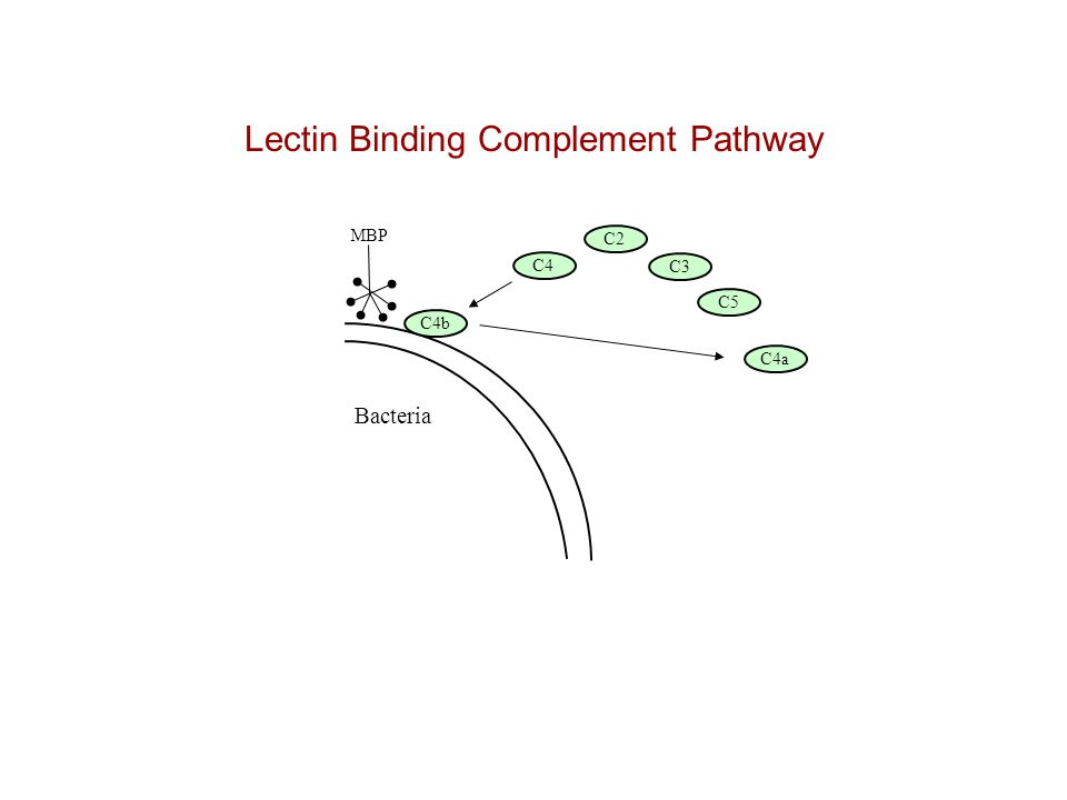 Lectin Binding Complement Pathway Bacteria C4 C2 C3 C5 MBP C4b C4a C2b C2a