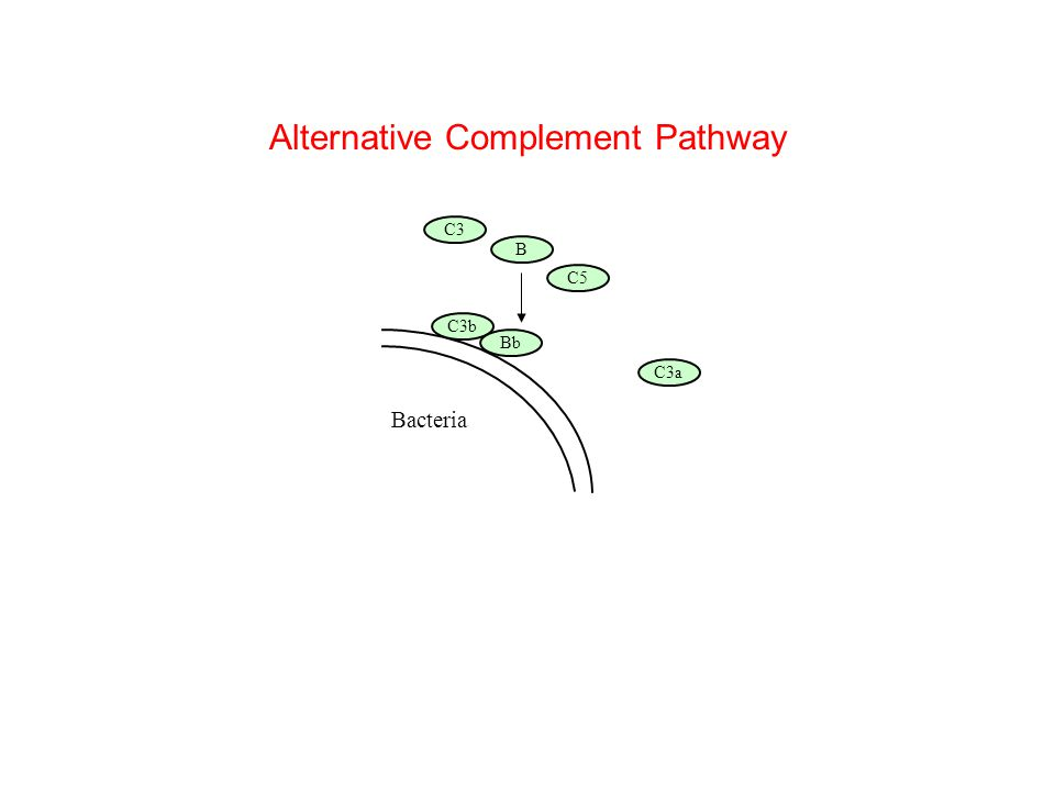 C5b C5a Alternative Complement Pathway Animation complete Bacteria B C5 C3b C3 C3a Bb