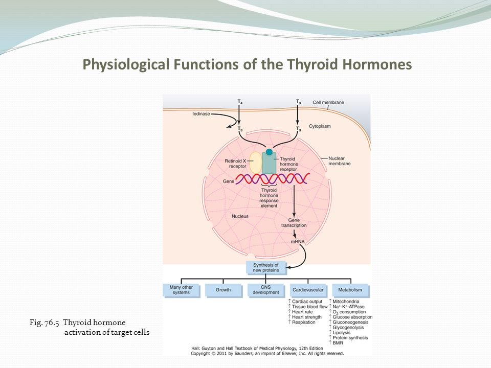 Physiological Functions of the Thyroid Hormones Thyroid Hormones Increase Metabolic Activity- (increase the BMR 60-100x) a.Thyroid hormones increase the number and activity of mitochondria b.Increase the active transport of ions through the cell membrane (sodium and potassium)
