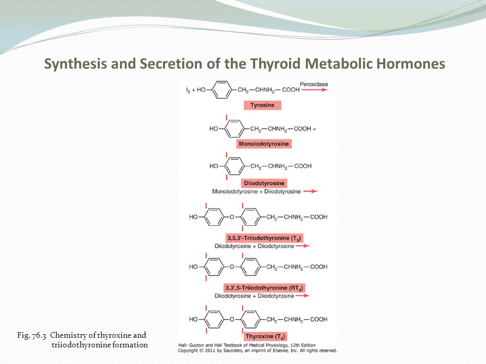 Synthesis and Secretion of the Thyroid Metabolic Hormones e.Storage of thyroglobulin-enough is stored to last the body for 2-3 months f.Release of throxine and triiodithyronine-cleaved from the thyroglobulin and then released into the blood g.Daily rate of secretion; 93% is normally thyroxine and 7% triiodothyronine.