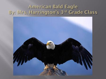  The American Bald Eagle has a white head and black feathers on its body.  It has sharp talons on its feet.  The feet are orange colored.  It has.