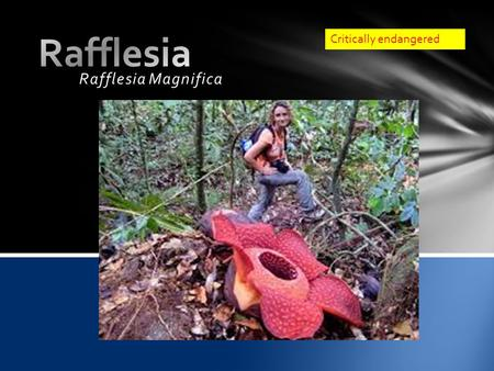 Rafflesia Magnifica Critically endangered.  HABITAT o The rafflesia live mostly in the parts of subtrpical/tropical moist lowlands of South East Asia.