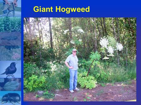 Giant Hogweed. The giant Hogweed, a very poisonous plant has been found recently in Ontario and Quebec. Newsmedia have reported the plant growing in La.
