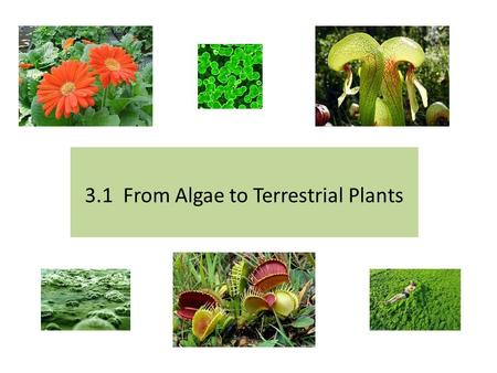 3.1 From Algae to Terrestrial Plants. Agenda Lesson 3.1 From Algae to Terrestrial Plant Read text pages 90 -94. Answer Learning Check #1-6 on page 93.