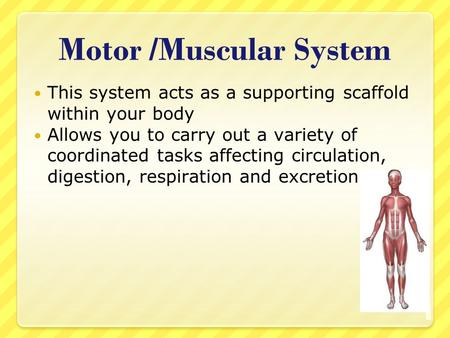 Motor /Muscular System This system acts as a supporting scaffold within your body Allows you to carry out a variety of coordinated tasks affecting circulation,