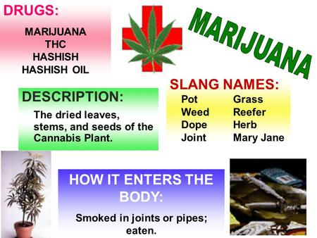 DESCRIPTION: The dried leaves, stems, and seeds of the Cannabis Plant. HOW IT ENTERS THE BODY: Smoked in joints or pipes; eaten. DRUGS: MARIJUANA THC.