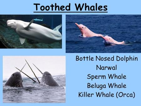 Toothed Whales Bottle Nosed Dolphin Narwal Sperm Whale Beluga Whale