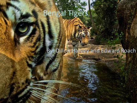 Bengal Tigers By: Dillon Harvey and Edward Roach.
