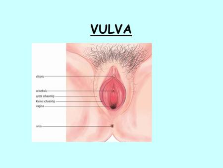 VULVA. NORMAL HISTOLOGY Keratinizing stratified squamous epithelium (epidermis) Adnexal structures may be present- pilosebaceous units, and sweat glands.