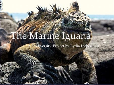 { The Marine Iguana A Biodiversity Project by Lydia Lieberman.