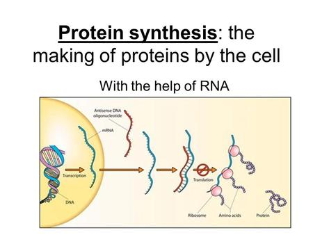 Protein synthesis: the making of proteins by the cell With the help of RNA.