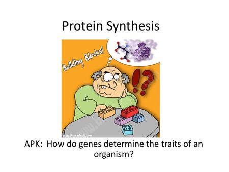 Protein Synthesis APK: How do genes determine the traits of an organism?