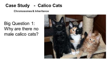 Big Question 1: Why are there no male calico cats? Case Study - Calico Cats Chromosomes & Inheritance.
