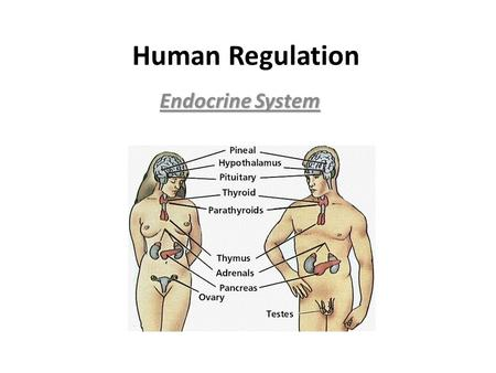 Human Regulation Endocrine System. There are no specialized cells, glands or hormones that the five (5) representative organisms have. Animals, however,
