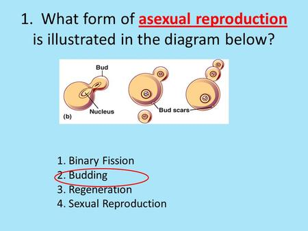 1. What form of asexual reproduction is illustrated in the diagram below? 1.Binary Fission 2.Budding 3.Regeneration 4.Sexual Reproduction.