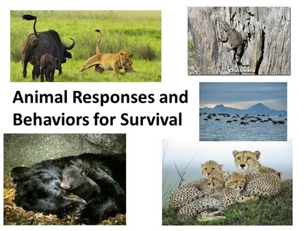 Animal Responses and Behaviors for Survival. Video: Adapting to Changes in Nature Concepts in Nature: Adapting to Changes in Nature Name______ What is.
