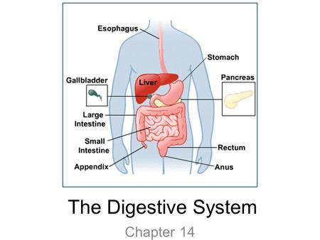 The Digestive System Chapter 14. Journey Through the System Video.