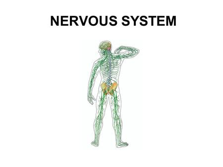NERVOUS SYSTEM. Essential question: What are the differences between responses with the nervous system versus responses with the endocrine system? In.