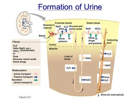 Formation of Urine Figure 15.5.