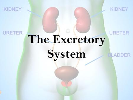 The Excretory System. Function: The excretory system eliminates nonsolid wastes from the body. Nonsolid wastes are eliminated through lungs, skin and.