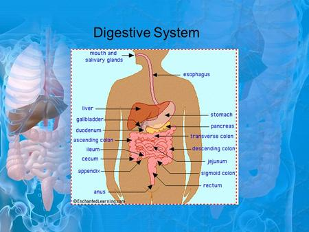 Digestive System. What does the Digestive System Do? Function: To break down food, absorb nutrients, and get rid of solid food and waste 2 types of digestion: