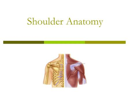 Shoulder Anatomy. Shoulder  It is a ball and socket joint that moves in all three planes and has: Most mobile and least stable joint.