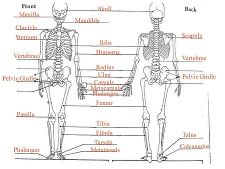 Skeletal System Part III