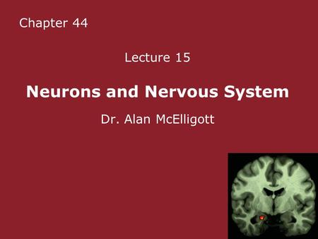 Chapter 44 Lecture 15 Neurons and Nervous System Dr. Alan McElligott.