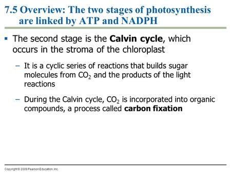 7.5 Overview: The two stages of photosynthesis are linked by ATP and NADPH  The second stage is the Calvin cycle, which occurs in the stroma of the chloroplast.
