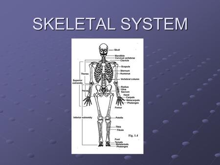 SKELETAL SYSTEM. How does it work? Consists of 206 bones and connective tissues Consists of 206 bones and connective tissues Connective tissues Cushions.