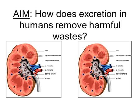 AIM: How does excretion in humans remove harmful wastes?