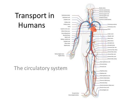 Transport in Humans The circulatory system. Specification (2.49-2.59) 2.49understand why simple, unicellular organisms can rely on diffusion for movement.