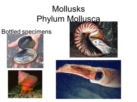 Mollusks Phylum Mollusca Bottled specimens. Kingdom: Animalia Phylum: Mollusca Class :