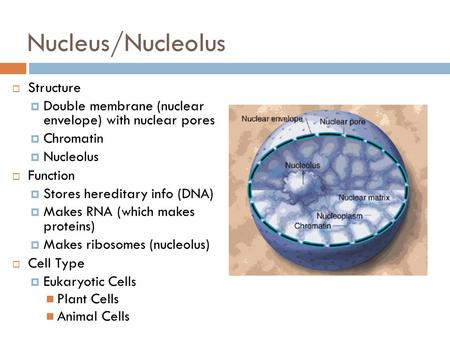 Nucleus/Nucleolus  Structure  Double membrane (nuclear envelope) with nuclear pores  Chromatin  Nucleolus  Function  Stores hereditary info (DNA)