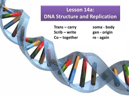 Lesson 14a: DNA Structure and Replication Trans – carrysoma - body Scrib – writegen - origin Co – togetherre - again.