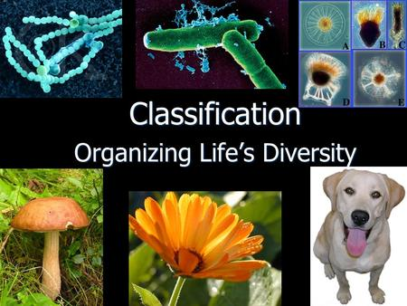 Classification Organizing Life's Diversity. At least 1.7 million species of living organisms have been discovered At least 1.7 million species of living.