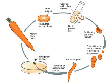 Preparation Of Carrot Explants 1.) Wash carrot taproots in warm, soapy water. Break or cut carrot taproots into pieces 7 cm or less in length. Be careful.