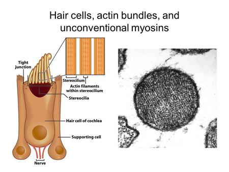 Hair cells, actin bundles, and unconventional myosins.