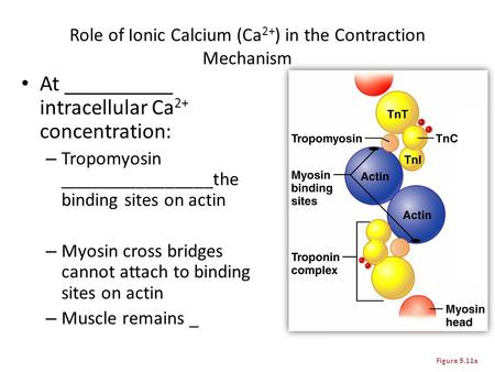 Role of Ionic Calcium (Ca 2+ ) in the Contraction Mechanism At __________ intracellular Ca 2+ concentration: – Tropomyosin ________________the binding.